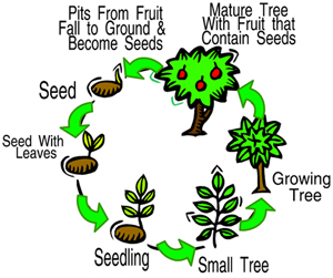 LifeCycle of a FruitTree