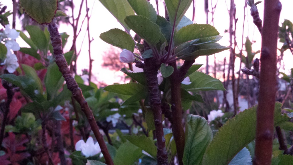 Apple blossoms in the pink dawn